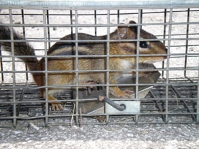 Best Chipmunk Traps