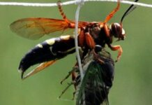 How to Get Rid of Cicada Killer
