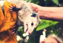 Best Possum Repellents