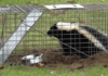 Best Skunk Trap