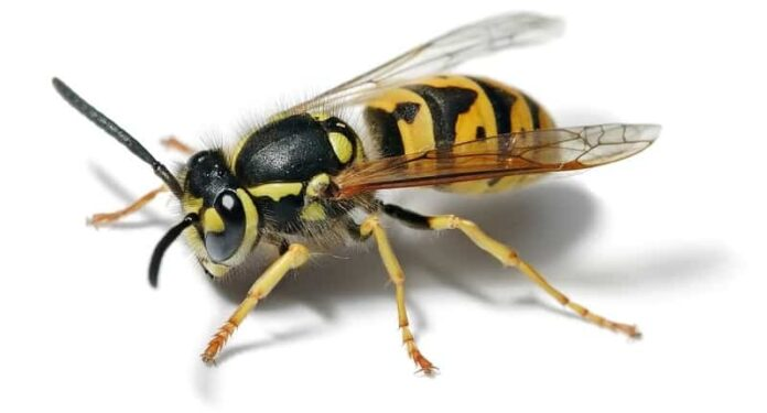 How to Get Rid of Ground Wasps