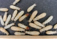 How to Get Rid of Subterranean Termites