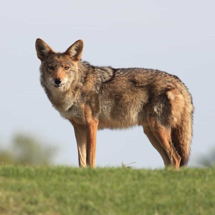 How to Identify a Coyote