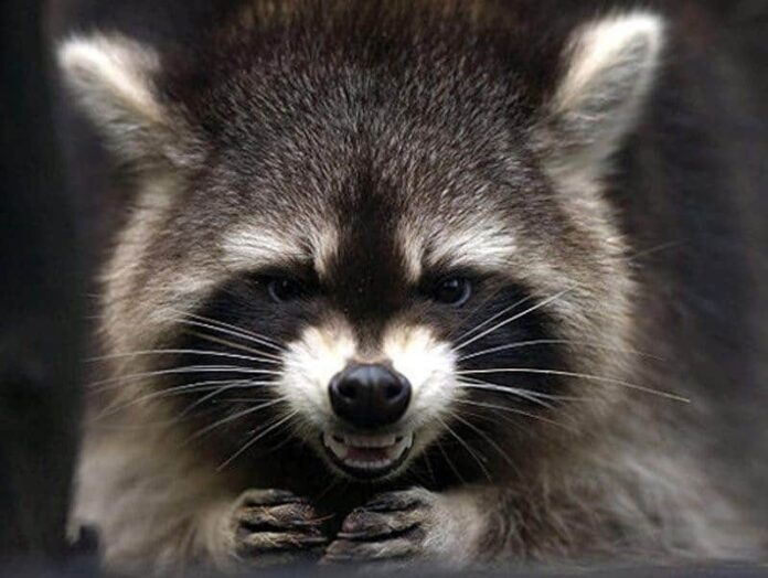 How to Know a Raccoon
