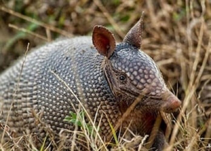 How to Trap Armadillos