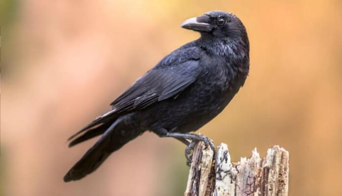 crow-on-a-stump