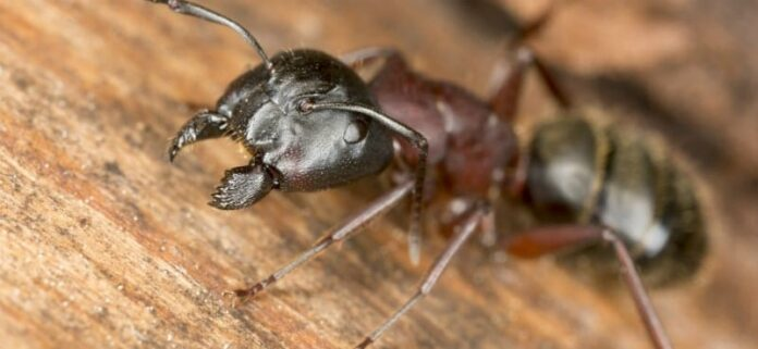 get-rid-of-carpenter-ants