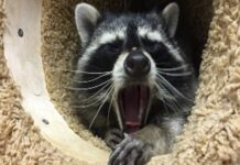 little-yawning-raccoon